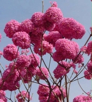 50 Seeds Tabebuia avellanedae seeds