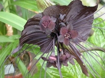 "10 Seeds TACCA chantrieri ""Bat flower"""
