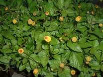 100 Seeds TOOTHACHE PLANT Spilanthes acmella