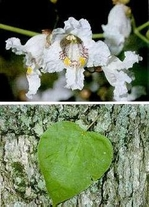 50 Seeds CATALPA OVATA Chinese catalpa