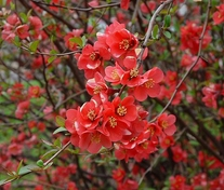50 Seeds Chaenomeles lagenaria Flowering Quince