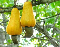 5 Cashew nut Fruit Seeds ANACARDIUM occidentale Seeds