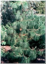 """100 Seeds PINUS patula """"Mexican Weeping Pine"""""""