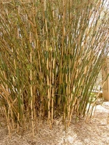 25 SEEDS OF Fargesia yunnanensis Hardy clumping bamboo