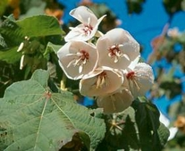 5 Seeds Dombeya pulchra Seeds silver white pear