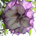 10 Seeds Double Purple Datura