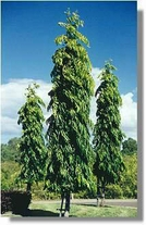 20 Seeds Polyalthia longifolia Indian Mast Tree
