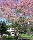 50 PINK SHOWER TREE Cassia Grandis Coral Shower Seeds