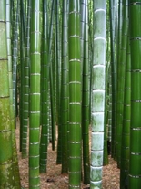 25 Seeds Phyllostachys pubescens MOSO Bamboo