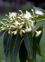 100 Seeds Eucalyptus pellita LARGE-FRUITED RED MAHOGANY