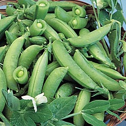 Heirloom Sugar Snap Pea Seeds One Pound