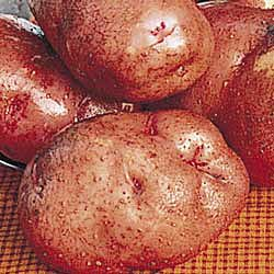 Red LaSoda Seed Potatoes 50 lbs