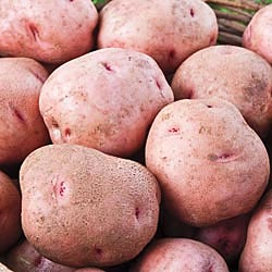 Red Pontiac Seed Potatoes 50 lbs  IN STORE PICKUP ONLY