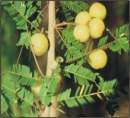 100 Seeds Phyllanthus emblica.  Indian Gooseberry Seeds. Amla Seeds