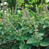 500 Ocimum sanctum Seeds, Tulsi Seeds, Red Holy Basil Seeds
