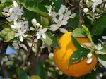 100 Citrus sinensis Seeds  ,Sweet Orange  Seeds