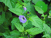 100 Seeds Nicandra physaloides .Shoo-fly Plant Seeds. Apple of Peru,