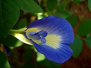 50  Clitoria Ternatea  Seeds,  Butterfly Pea Flower seeds