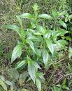 300 Seeds Andrographis paniculata  Kalmegh Seeds For Germintaion