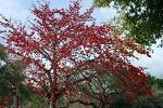 100  Red Silk Cotton Tree Seeds .BOMBAX CEIBA Seeds