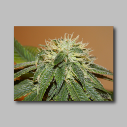 Blue Line Weed Sticker - Marijuana Sticker 001