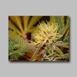 Future Berry Weed Sticker - Marijuana Sticker 001