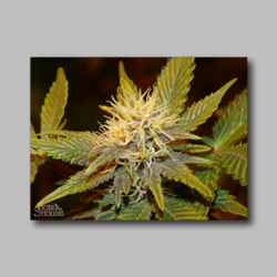 Future Berry Weed Sticker - Marijuana Sticker 002