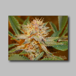 Future Berry Weed Sticker - Marijuana Sticker 005