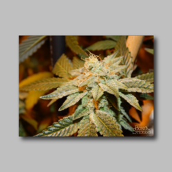 Future Berry Weed Sticker - Marijuana Sticker 006