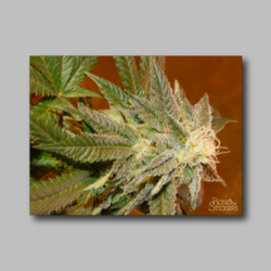 Future Berry Weed Sticker - Marijuana Sticker 007