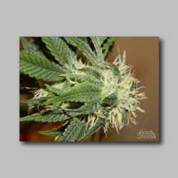 Future Berry Weed Sticker - Marijuana Sticker 009