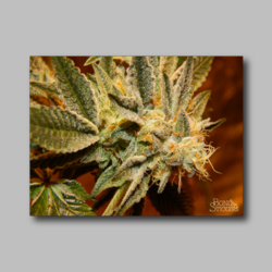 Future Berry Weed Sticker - Marijuana Sticker 010