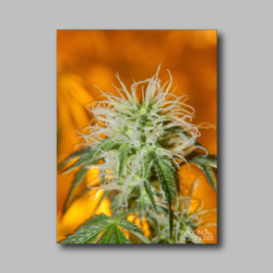 Green Crack Weed Sticker - Marijuana Sticker 002
