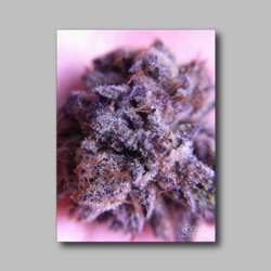 Green Kush Weed Sticker - Marijuana Sticker 001