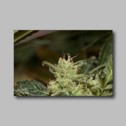 Larry OG Weed Sticker - Marijuana Sticker 004