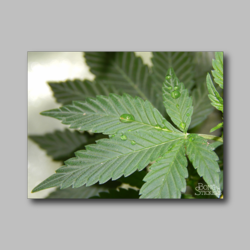 Marijuana Leaf Weed Sticker - Marijuana Sticker 001