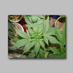 Marijuana Leaves Weed Sticker - Marijuana Sticker