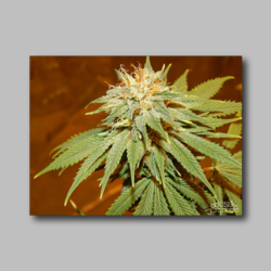 Penny Wife Weed Sticker - Marijuana Sticker 002