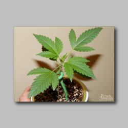 Sprout Weed Sticker - Marijuana Sticker 002