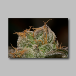 Thin Mints Weed Sticker - Marijuana Sticker