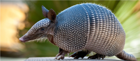 Armadillo Decals