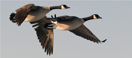 Geese Decals
