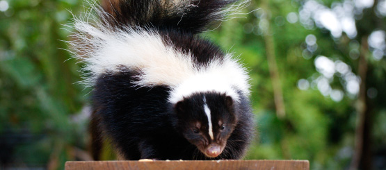 Skunk Decals