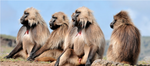 Baboon Decals
