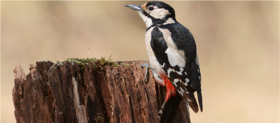 Woodpecker Decals
