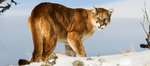 Mountain Lion Decals