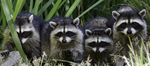 Raccoon Decals