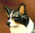 Tri Color Pembroke Welsh Corgi