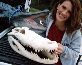XXL Huge Real Alligator Skull- 18 -19 inches