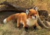 Folkmanis Puppet <br>Red Fox